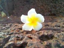 Gorgeous. Laos signature flower on the granite floor Stock Images