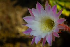 Gorgeous large pink and white flower on a cactus. In a cactus garden royalty free stock photography