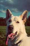 Gorgeous large white dog in a park Royalty Free Stock Photos
