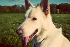 Gorgeous large white dog in a park, colorised image Royalty Free Stock Images