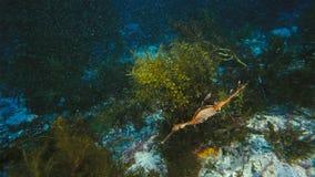 Gorgeous Leafy Seadragon camouflaged as seaweed royalty free stock photos