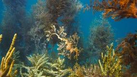 Gorgeous Leafy Seadragon camouflaged as seaweed stock photos
