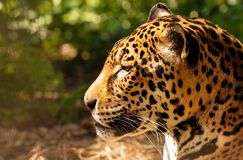 Gorgeous leopard Stock Photos