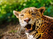Gorgeous leopard Royalty Free Stock Images