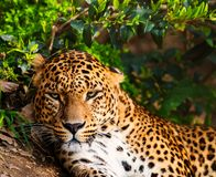 Gorgeous leopardess Stock Image