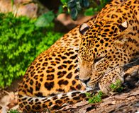 Gorgeous leopardess Royalty Free Stock Photo