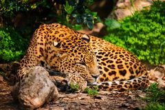 Gorgeous leopardess Royalty Free Stock Photos
