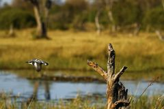 African Pied Kingfisher flying ready for action. This gorgeous little black and white bird with a crest is intent on fishing on a perch high up over the river royalty free stock photography
