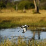 African Pied Kingfisher flying ishing hunter ready for action. This gorgeous little black and white bird with a crest is intent on fishing on a perch high up stock image