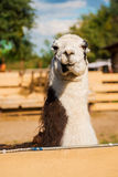 Gorgeous llama. Stock Photo