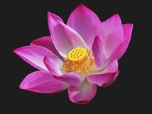 Beautiful lotus flower. Gorgeous lotus flower in bloom stock photo