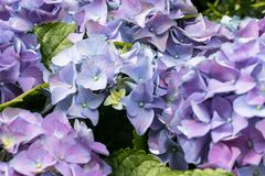 Gorgeous lush beautiful blue hydrangea flowers close up. Wedding backdrop, Valentine`s Day concept. Outdoors, summertime. Blue stock photo