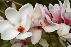 Gorgeous Magnolia Blooms and Bud Royalty Free Stock Photos