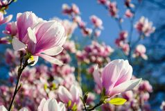 Gorgeous magnolia flowers on a blue sky background. Lovely springtime scenery in the park Royalty Free Stock Photos