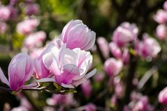 Gorgeous magnolia flowers on a dark background. Lovely springtime scenery in the park Stock Image