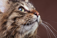 Gorgeous maine coon cat looking up on brown studio background Stock Photos