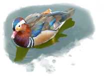 Gorgeous mandarin duck drake swimming in a pond Stock Photo