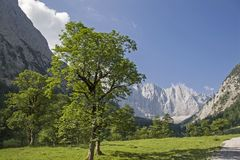 At the big maple ground in the Eng. Gorgeous maple tree in summer with the peaks of the Karwendel mountains royalty free stock photography
