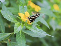 Gorgeous Mexican butterfly. Royalty Free Stock Photo