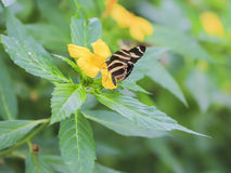 Gorgeous Mexican butterfly. Royalty Free Stock Photography