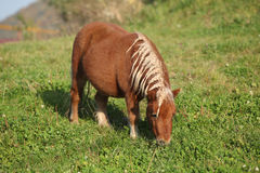 Gorgeous minishetland pony in autumn Stock Photo