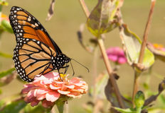 Gorgeous Monarch butterfly feeding on a flower. In fading fall garden stock photos