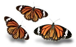 Gorgeous Monarch Butterfly on a white background. Three flamboyant monarch butterflies on a white backgroundreserved Photoshop path stock images