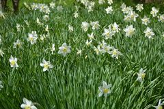 Gorgeous narcissus glade basking in the spring heat stock photo