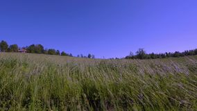 Gorgeous nature landscape view. Green grass swaying in the wind. Green grass field on blue sky background.  stock footage