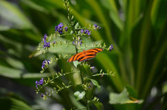 Very Pretty Oak Tiger Butterfly with Long Wings Royalty Free Stock Photos