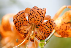 Gorgeous open tiger lily. Beautiful bright orange and black spotted tiger lily with an intruder bee sipping the nectar from within Royalty Free Stock Image
