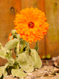 A gorgeous orange flower head with drops of rain wet on it in a Royalty Free Stock Image