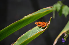 Gorgeous Orange Oak Tiger Butterfly in the Sun Royalty Free Stock Images