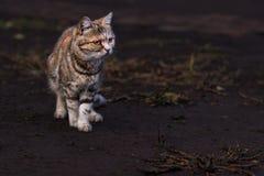 Gorgeous orange striped toyger kitten Royalty Free Stock Images
