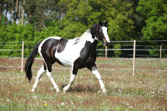 Gorgeous paint horse running on flowered pasturage Stock Photography
