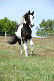 Gorgeous paint horse running on flowered pasturage Stock Photo