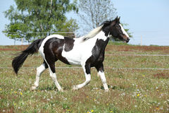 Gorgeous paint horse running on flowered pasturage Royalty Free Stock Photo