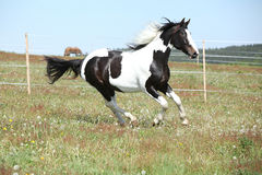 Gorgeous paint horse running on flowered pasturage. Gorgeous paint horse running on flowered spring pasturage royalty free stock photography
