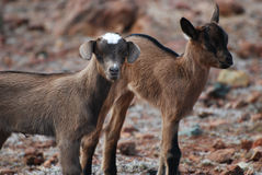 Gorgeous Pair of Two Baby Brown Goats in Aruba. Cute pair of two baby brown wild goats in Aruba stock photos