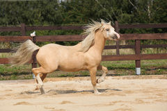 Gorgeous palomino stallion running Stock Images