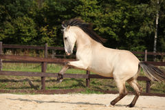 Gorgeous palomino stallion running Royalty Free Stock Photo