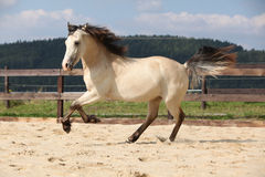 Gorgeous palomino stallion running Royalty Free Stock Photos