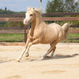 Gorgeous palomino stallion running Stock Image