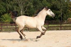 Gorgeous palomino stallion running Stock Photos