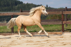 Gorgeous palomino stallion running Stock Photos