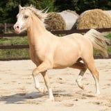 Gorgeous palomino stallion running. Gorgeous palomino welsh mountain pony stallion running Stock Image