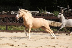 Gorgeous palomino stallion running Stock Images