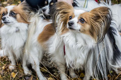 Gorgeous papillons standing  in autumn forest Royalty Free Stock Photography