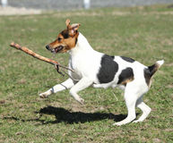 Gorgeous Parson Russell terrier running Royalty Free Stock Photos