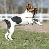 Gorgeous Parson Russell terrier running Stock Image